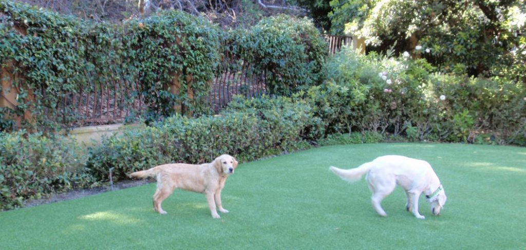Two dogs standing in a yard created with artificial grass